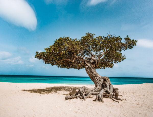 De typische Divi Divi boom van Aruba